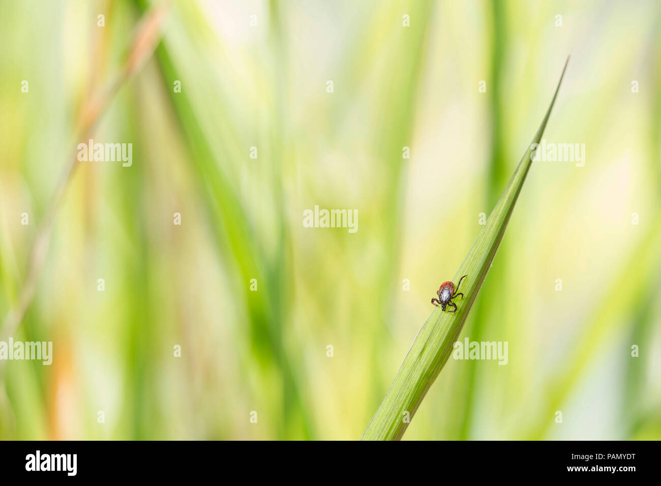 Castor Bean Tick (Ixodes ricinus) on a blade of grass. Germany - Stock Image