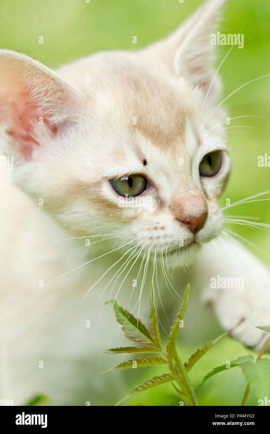Burmese cat. A kitten with a tick on its head. Germany - Stock Image