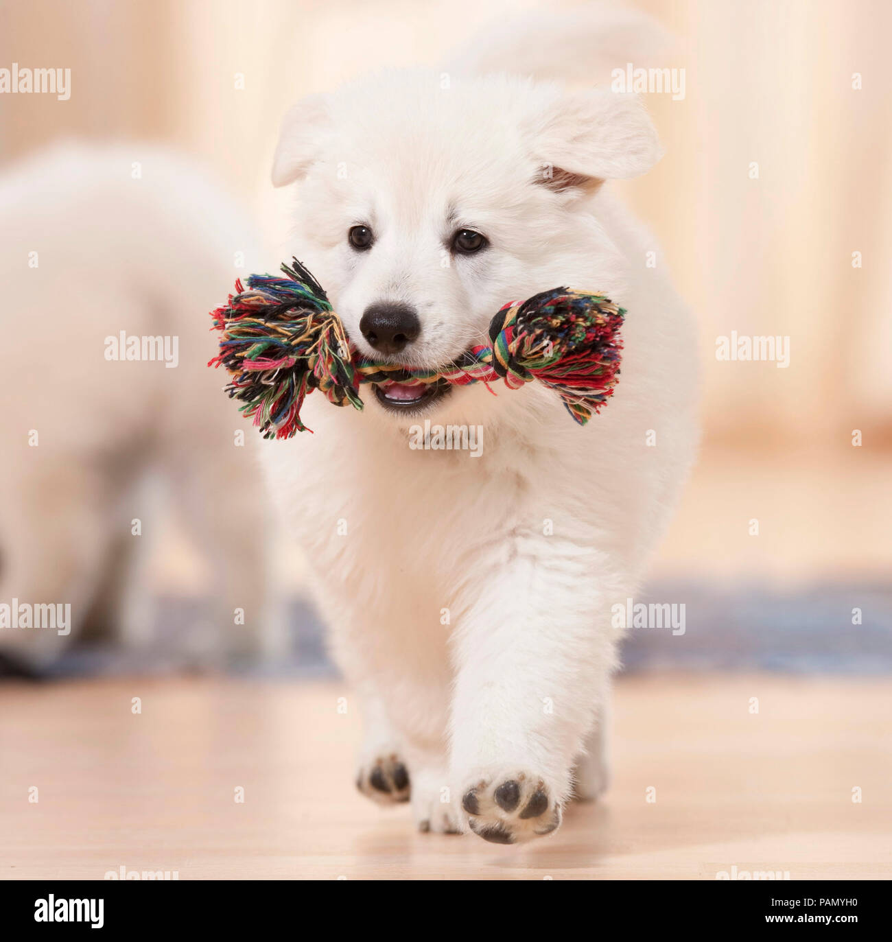 White Swiss Shepherd Dog. A puppy carries a colorful toy rope through an apartment. Germany - Stock Image