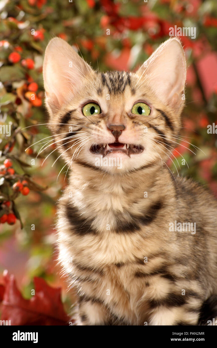 young bengal cat with a grinning mouth - Stock Image