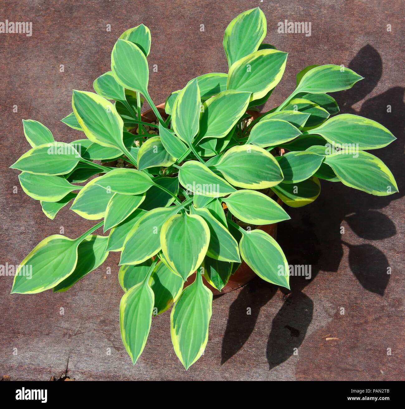 The beautiful Hosta plant named 'Hush Puppie' as part of the British National collection showing its delicate yellow edged green ribbed leaves. - Stock Image
