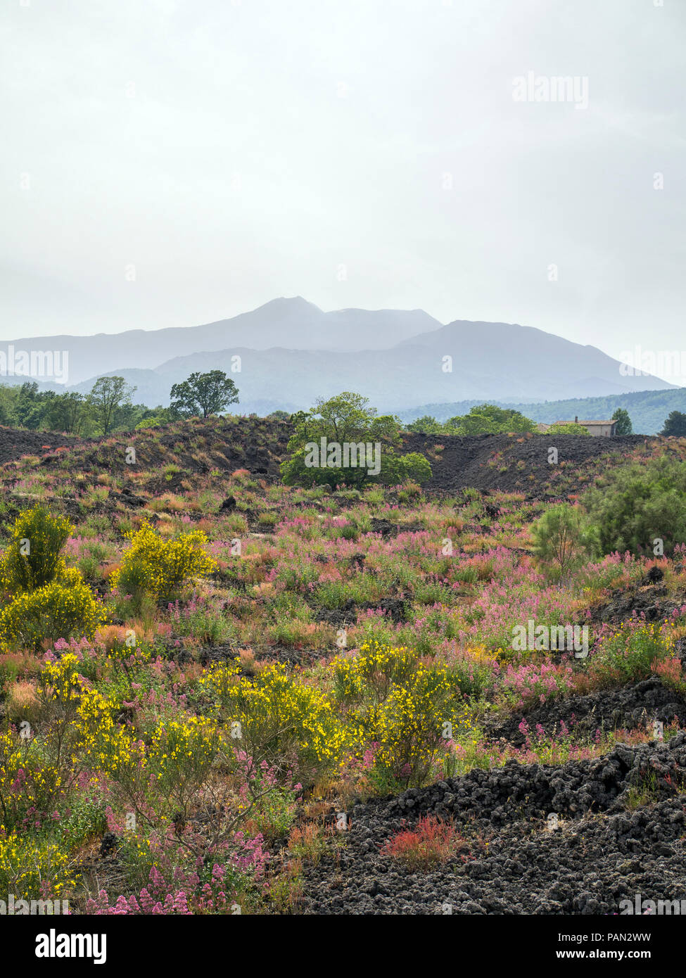 Wild flowers growing out of hardened lava on the north side of Mount Etna, with the volcano in the background, Sicily. - Stock Image