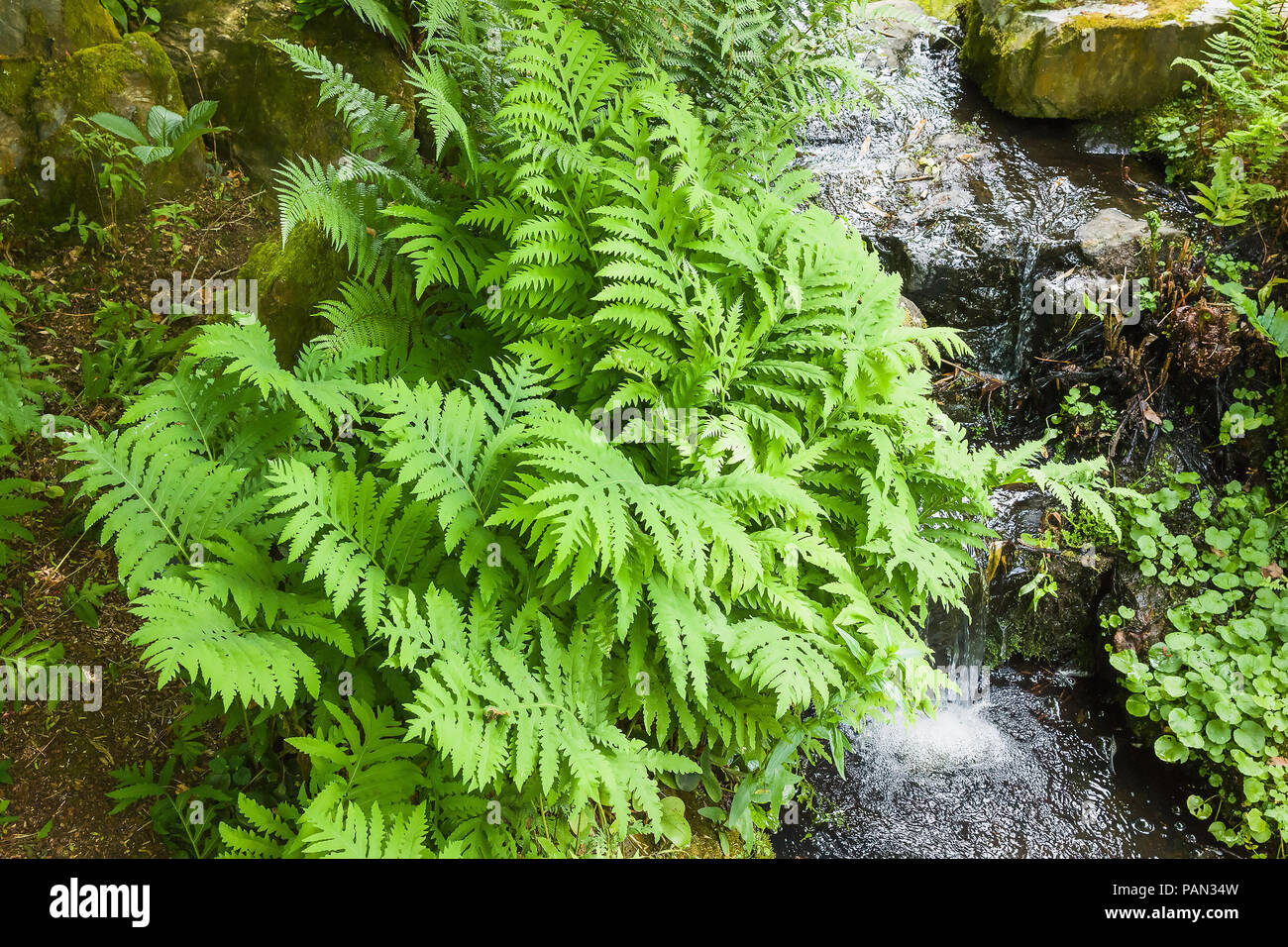 Chrysospplenium macrophyllum growing in a damp location next to a natural stream of water in an English garden in June Stock Photo