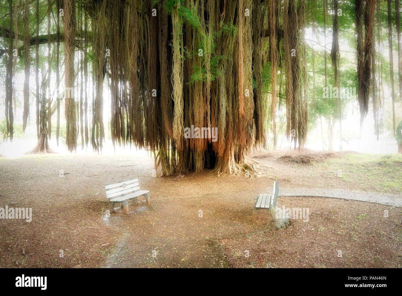 Banyon tree and benches. Liliuokalani Gardens. Hilo, Hawaii Stock ...