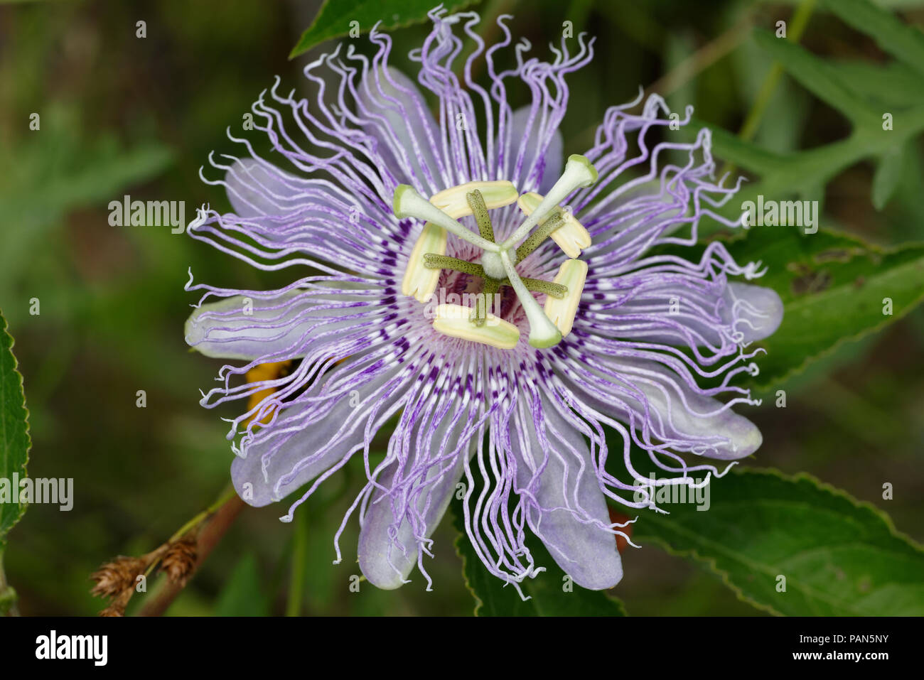 Purple passionflower Stock Photo