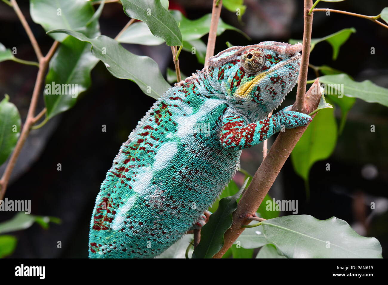 A colorful chameleon walks around its environment showing off its beauty. Stock Photo