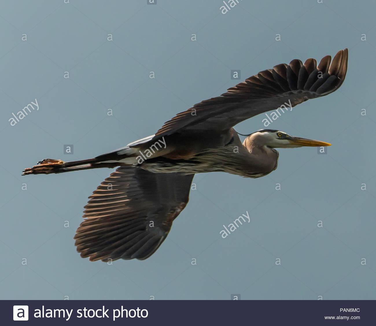 Bird in Flight - Stock Image