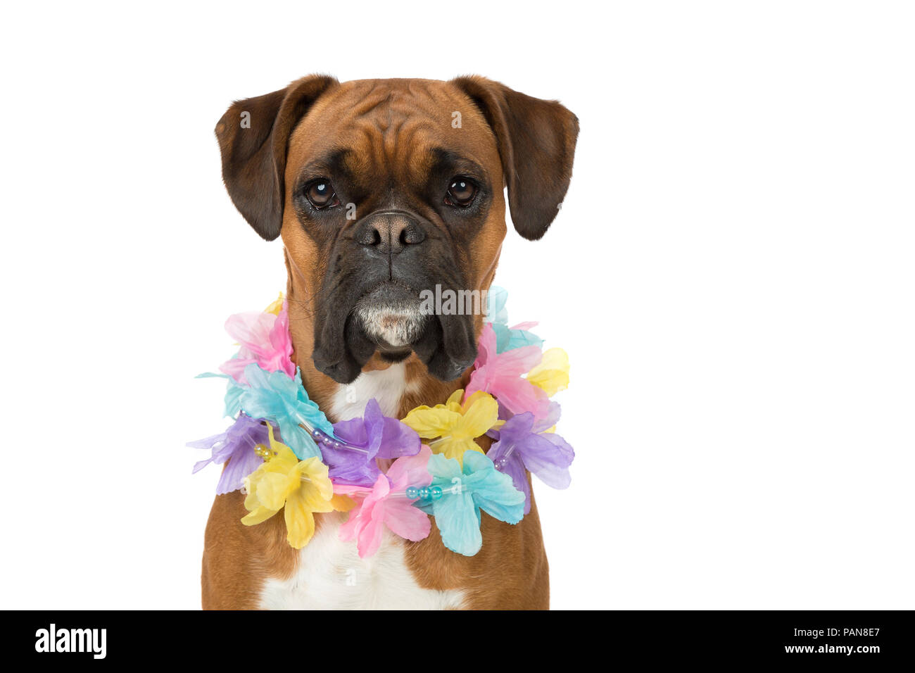 headshot of boxer dog in studio wearing an easter themed necklace - Stock Image