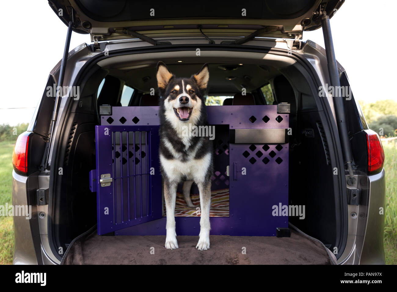 full body shot of husky mix standing inside a crate inside of a hatchback - Stock Image