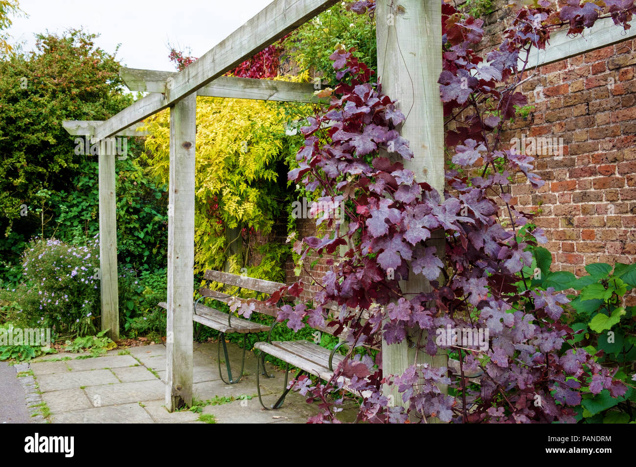 Two wooden benches under a pergola at Brockwell Park, Herne Hill, South London, England in autumn, with brick wall behind, red vines and yellow leaves - Stock Image