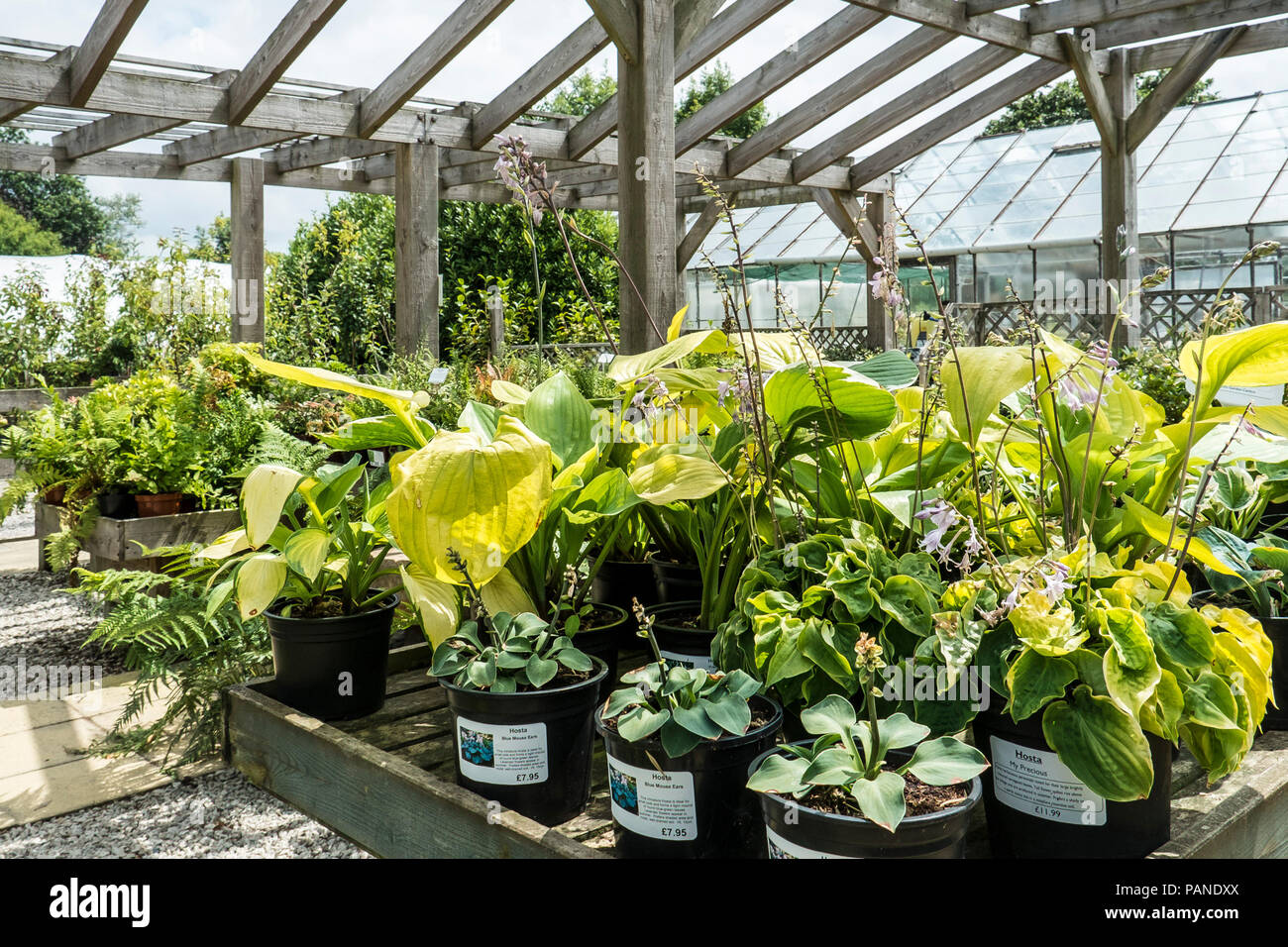 Various Types Of Hosta Plants On Sale Display In A Garden Centre