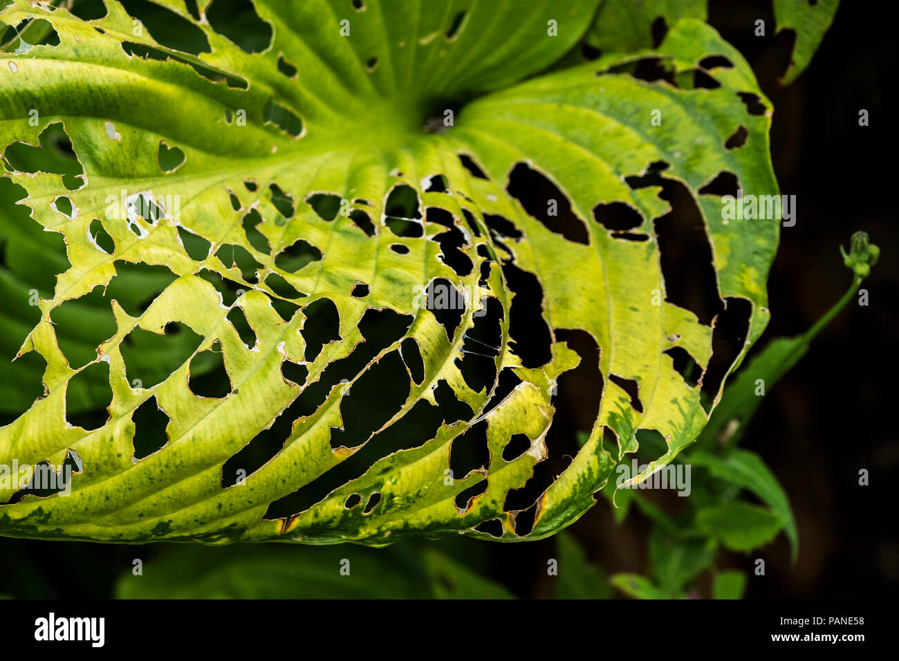 Insect slug pest damage on the leaf of a Hosta plant. - Stock Image