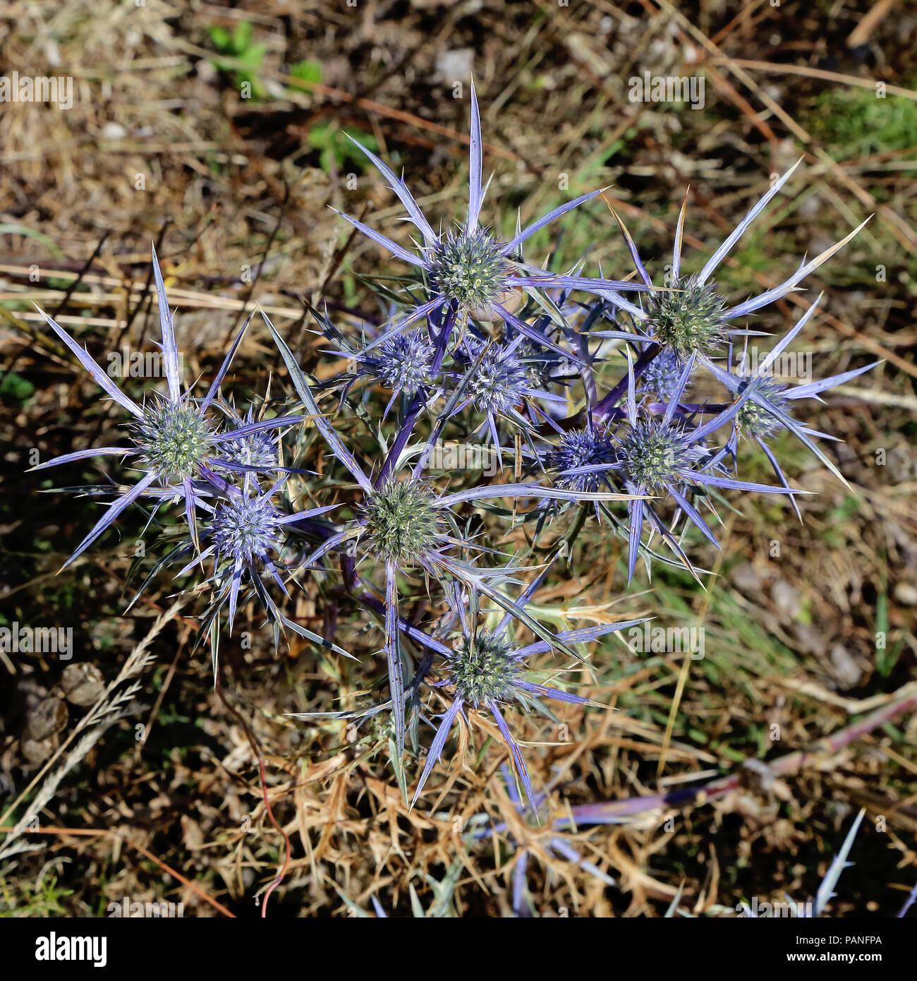 plant and inflorescences of amethyst sea holly, eryngium amethystinum Stock Photo