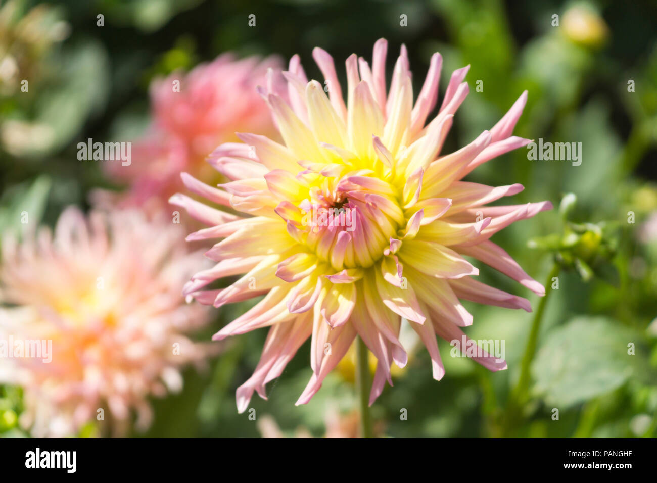 "A beautiful example of an Alfred Grille Dahlia (Cactus Dahlia - family Asteraceae) with a two tone pink and yellow ""double bloom"" Stock Photo"