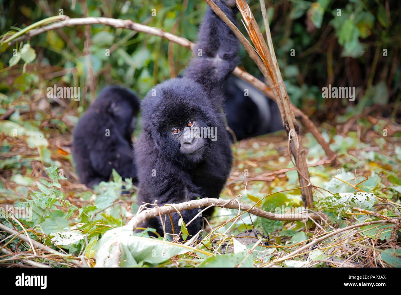 Africa, Democratic Republic of Congo, Young mountain gorillas playing in jungle - Stock Image