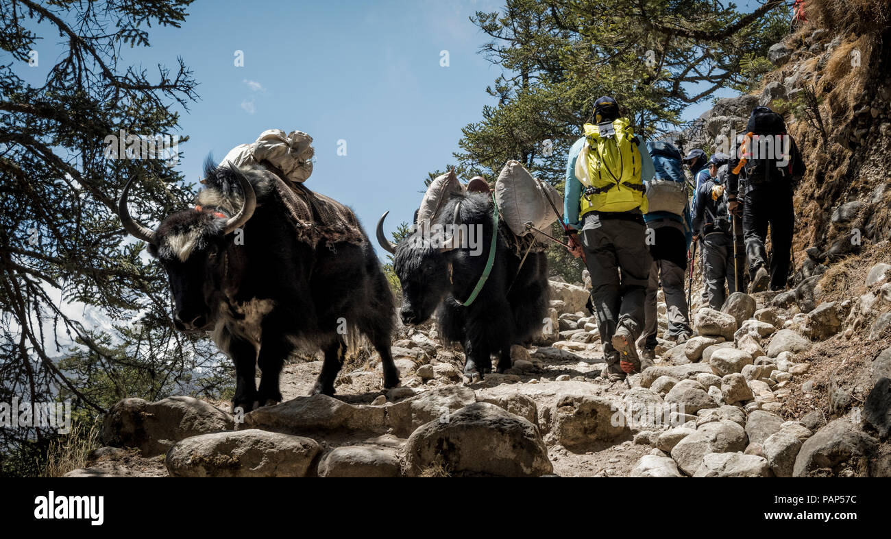 Nepal, Solo Khumbu, Everest, Sagamartha National Park, Mountaineers walking on dirt track with yaks - Stock Image