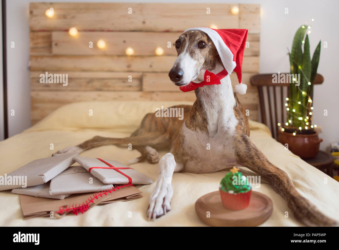 7fa6ee0d7d7d4 Portrait of Greyhound wearing Santa hat lying on bed with Christmas presents