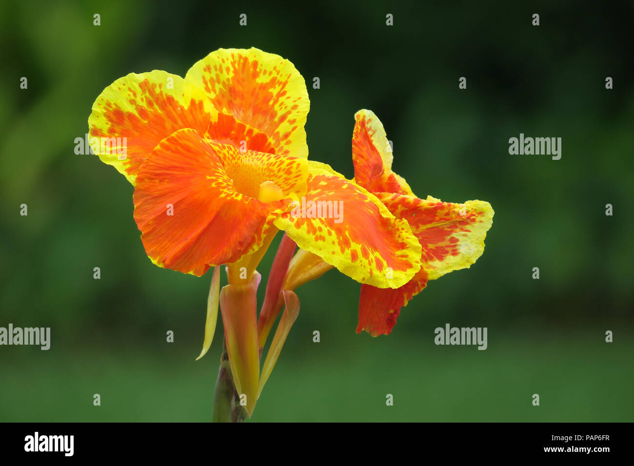 Yellow And Orange Tropical Canna Flower In Puerta Princesa Palawan