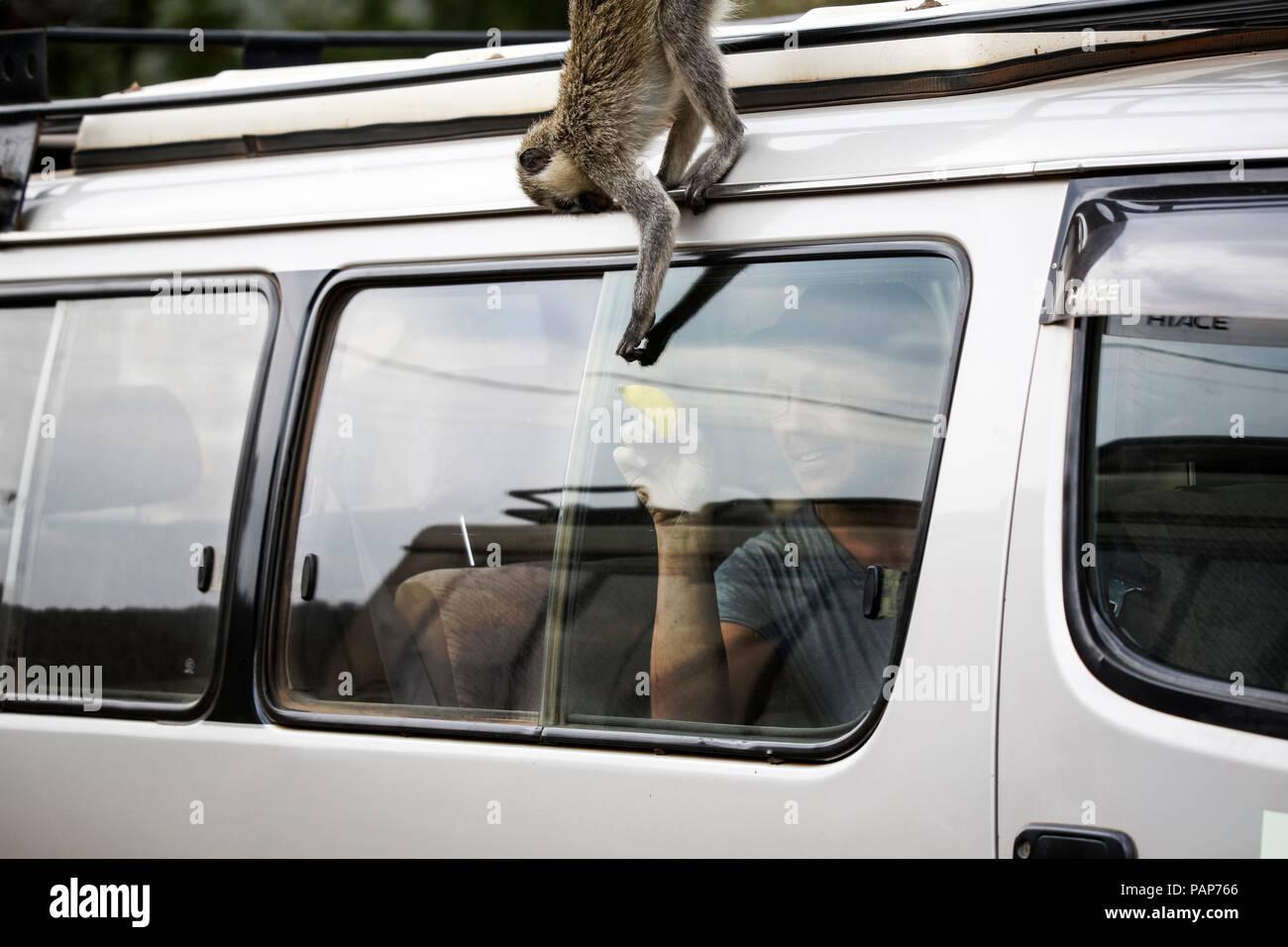 Uganda, Queen Elisabeth National Park, Curious vervet monkey climing on off-road vehicle - Stock Image