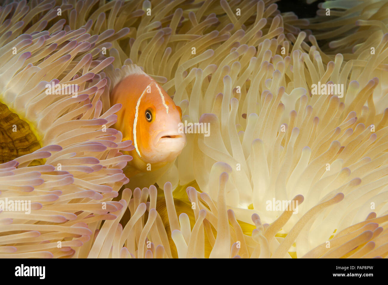This common anemonefish, Amphiprion perideraion, is most often found associated with the anemone, Heteractis magnifica, as pictured here. Yap, Microne - Stock Image
