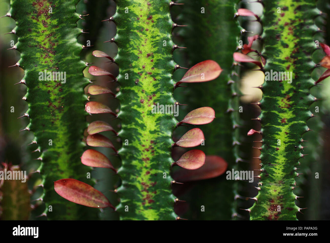 Cactus Spines close up. - Stock Image
