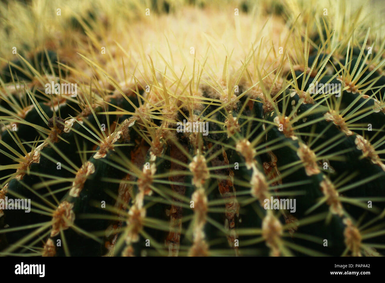 Cactus Spines close up. Stock Photo