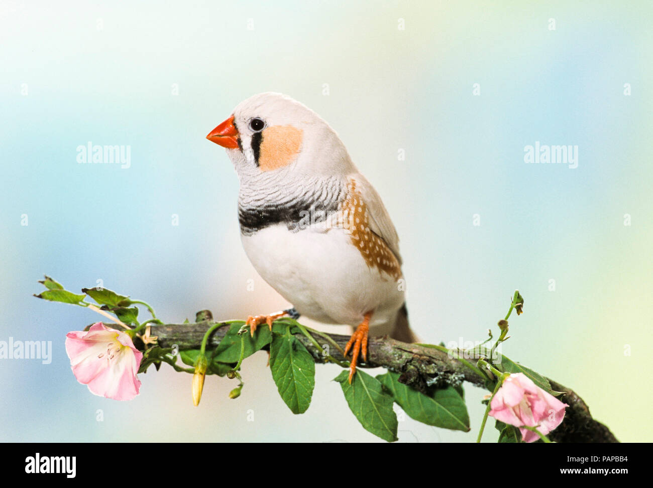 Zebra Finch (Taeniopygia guttata). Adult bird perched on a twig with flowering Hedge Bindweed. Germany - Stock Image