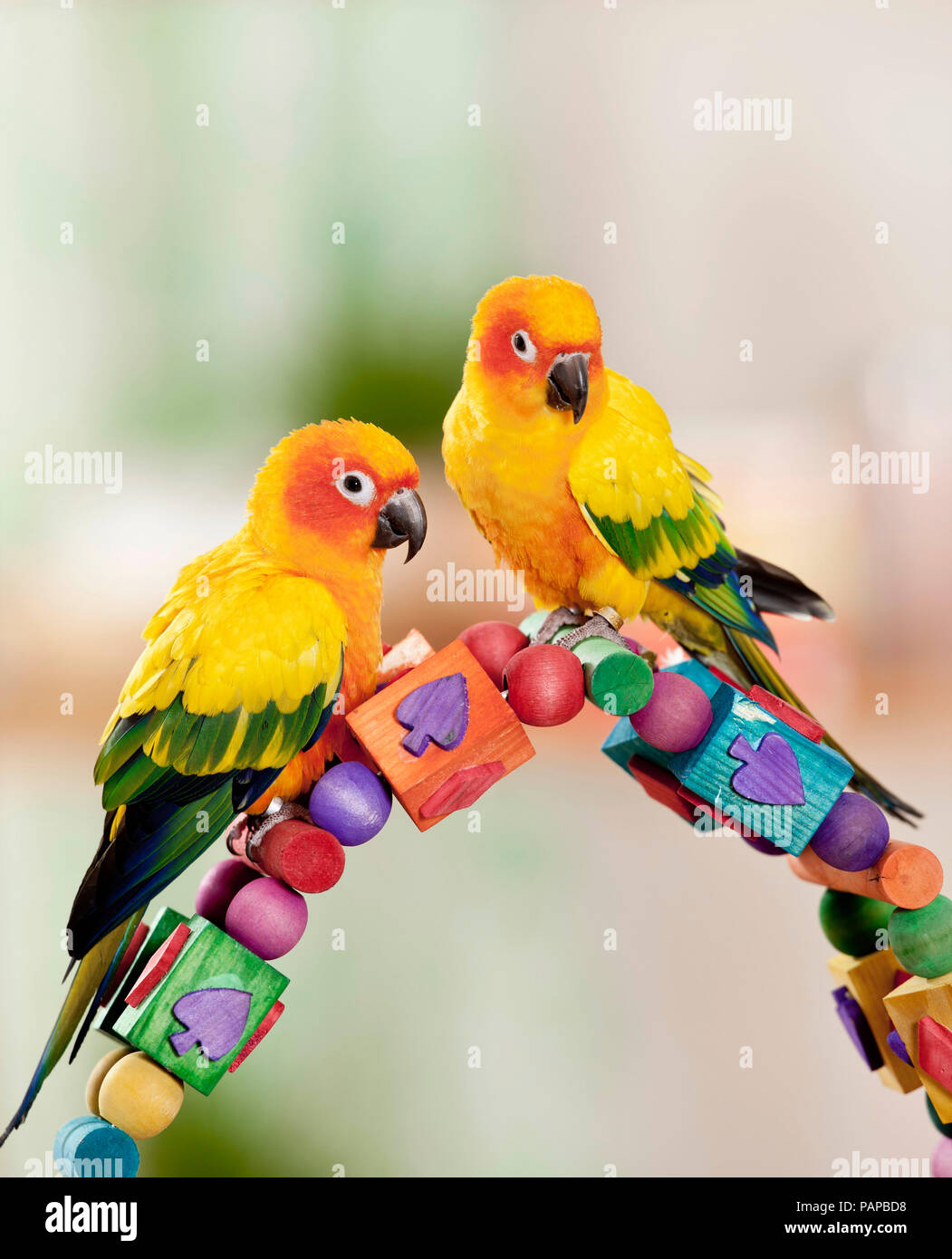 Sun Conure (Aratinga solstitialis). Two adults perched on a multicolored toy, studio picture. - Stock Image