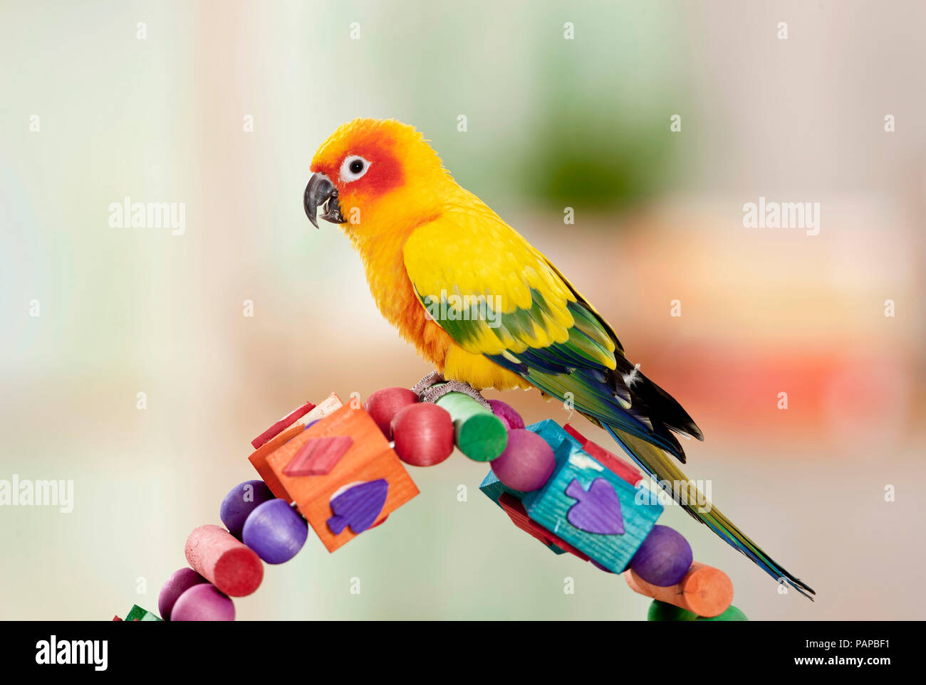 Sun Conure (Aratinga solstitialis). Adult standing on a multicolored toy, studio picture. Germany - Stock Image