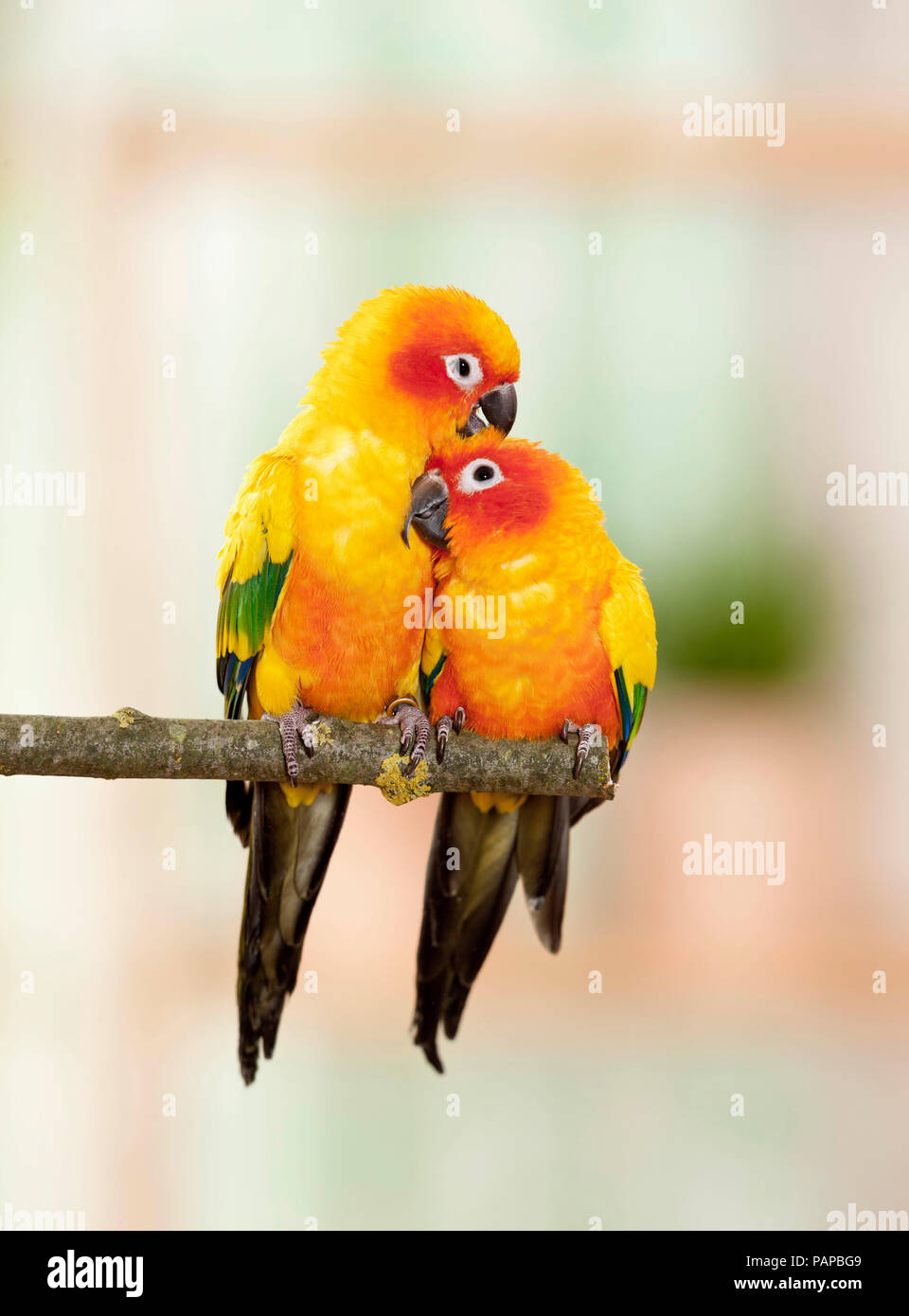 Sun Conure (Aratinga solstitialis). Two adults perched on a twig, smooching. Germany - Stock Image