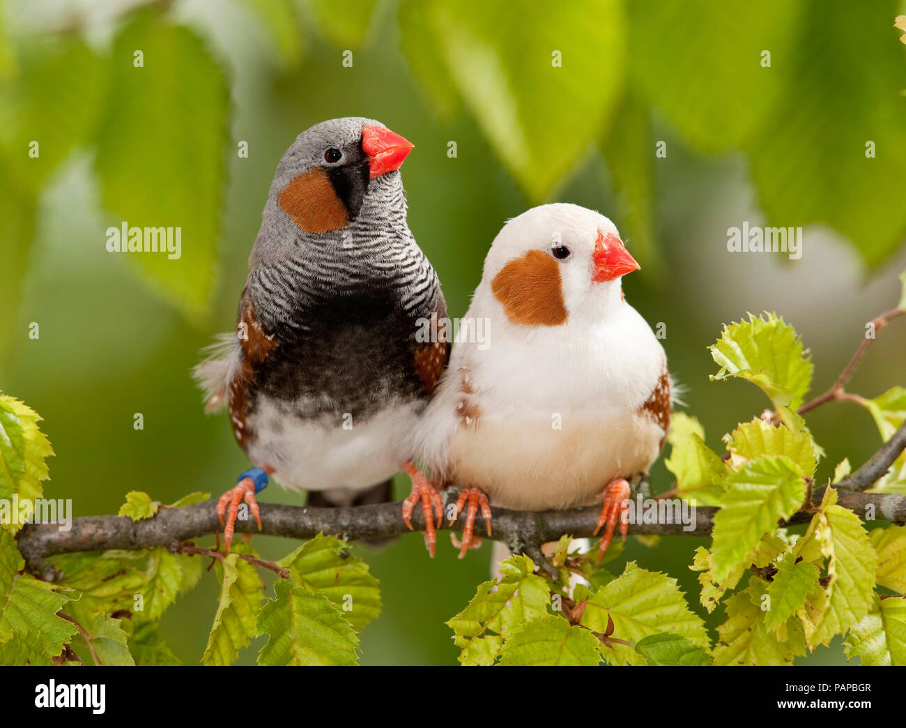 Zebra Finch (Taeniopygia guttata). Two adult birds perched on a twig. Germany - Stock Image