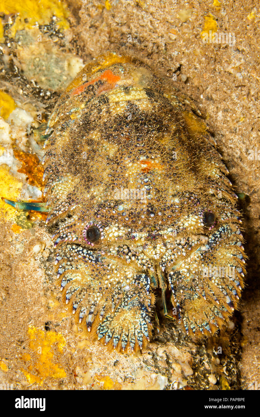 The sculptured slipper lobster, Parribacus antarcticus, are also refered to as shovel-nosed lobsters. Hawaii. - Stock Image
