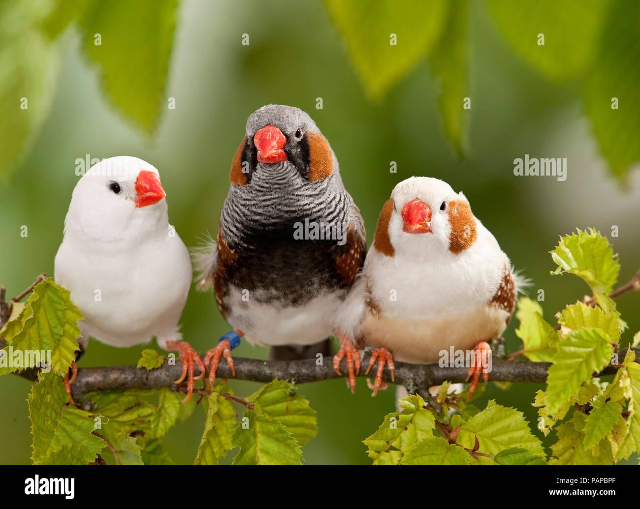 Zebra Finch (Taeniopygia guttata). Three adult birds perched on a twig. Germany - Stock Image