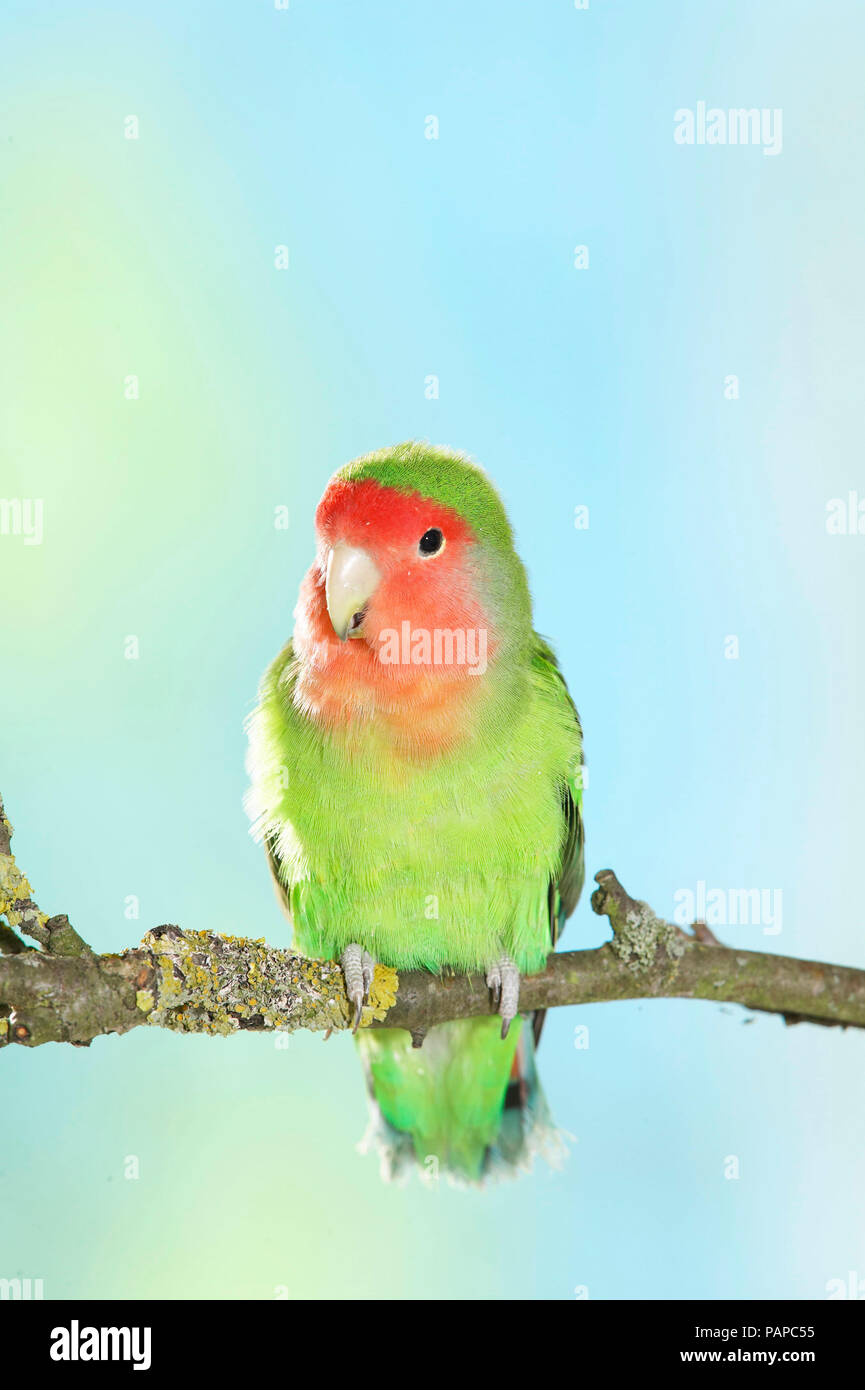 Rosy-faced Lovebird (Agapornis roseicollis). Adult bird perched on twig. Germany. - Stock Image