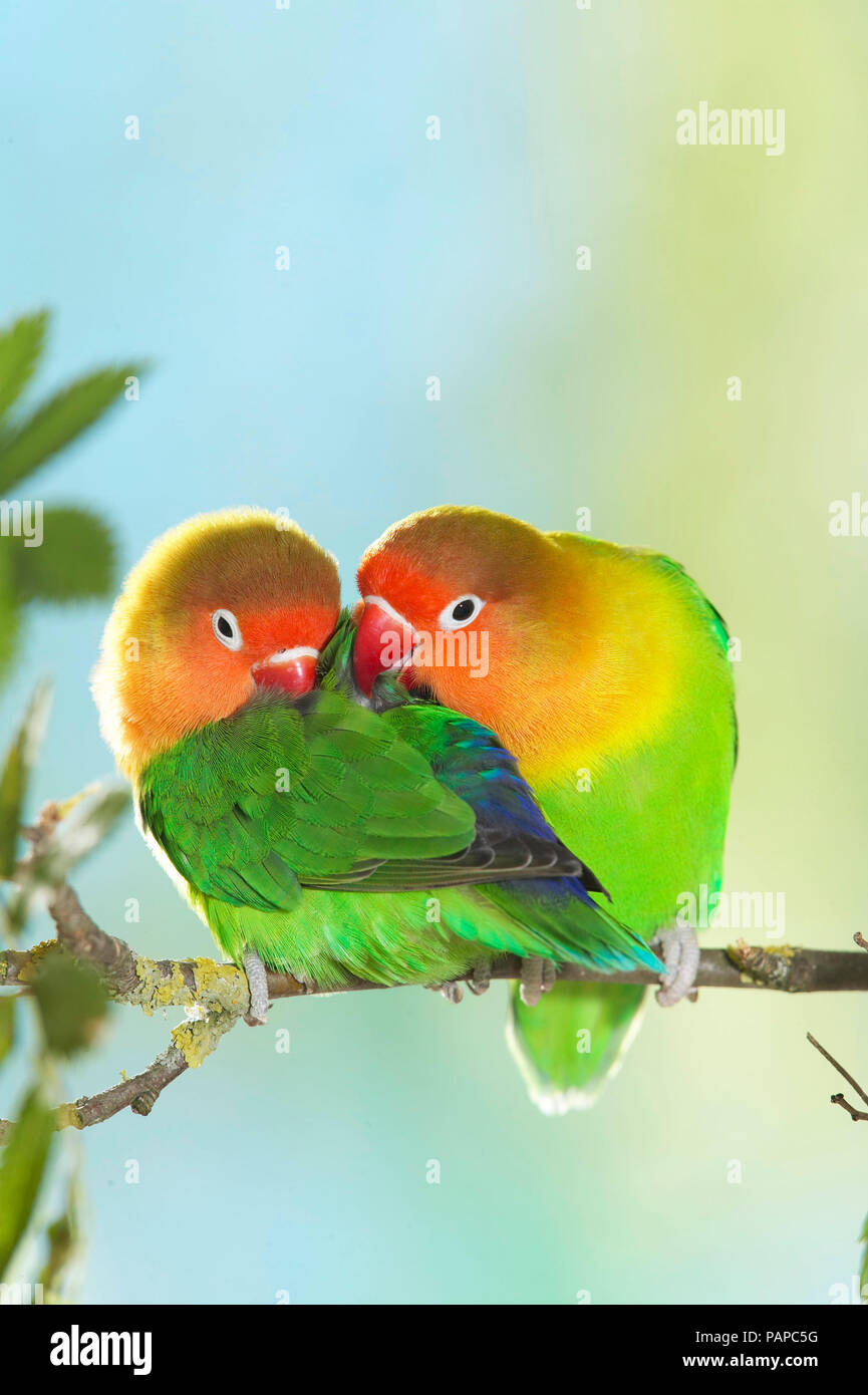 Fischers Lovebird (Agapornis fischeri). Tender couple perched on a twig. Germany - Stock Image