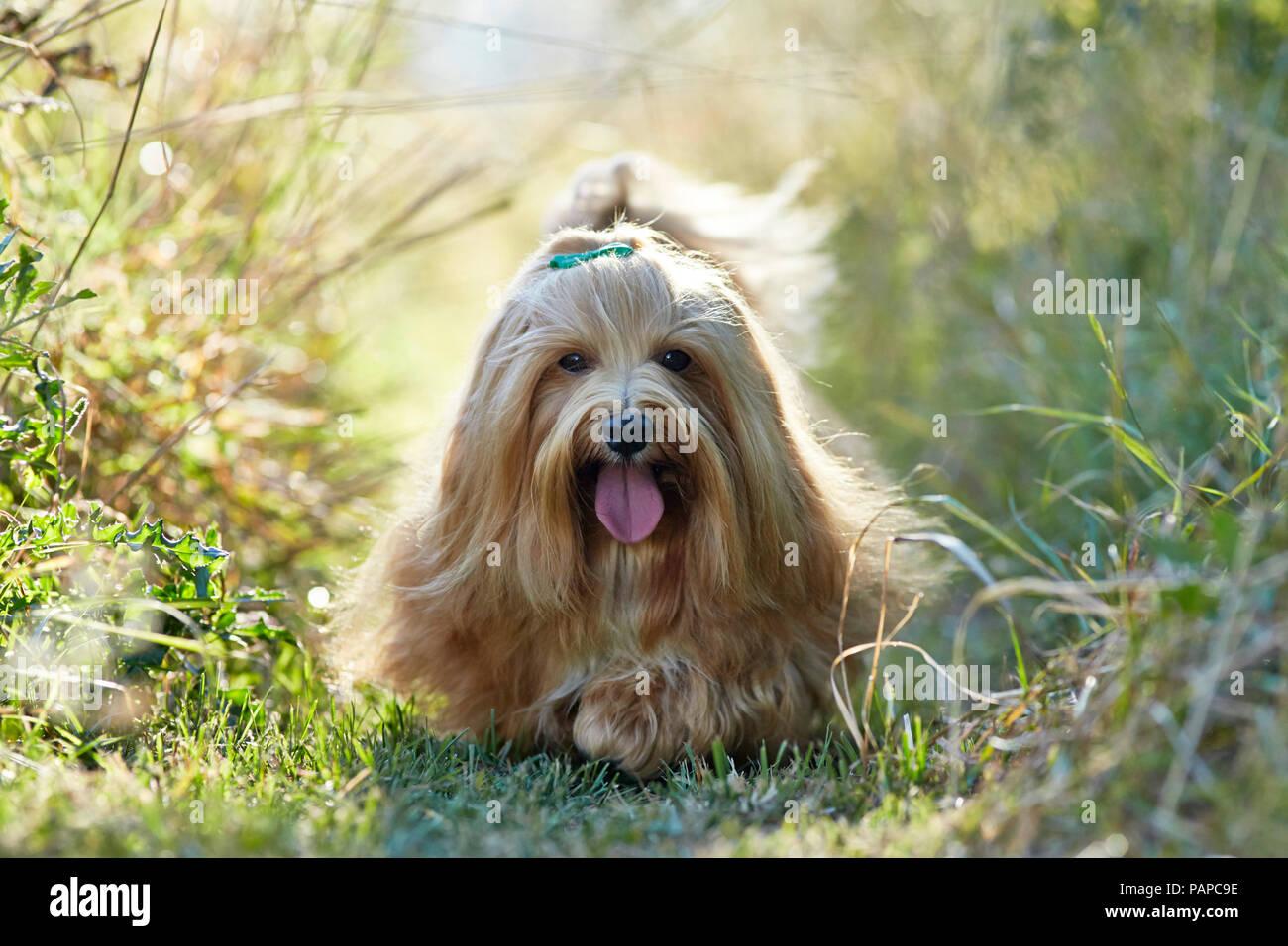 Havanese. Adult dog walking on a meadow, panting. Germany - Stock Image