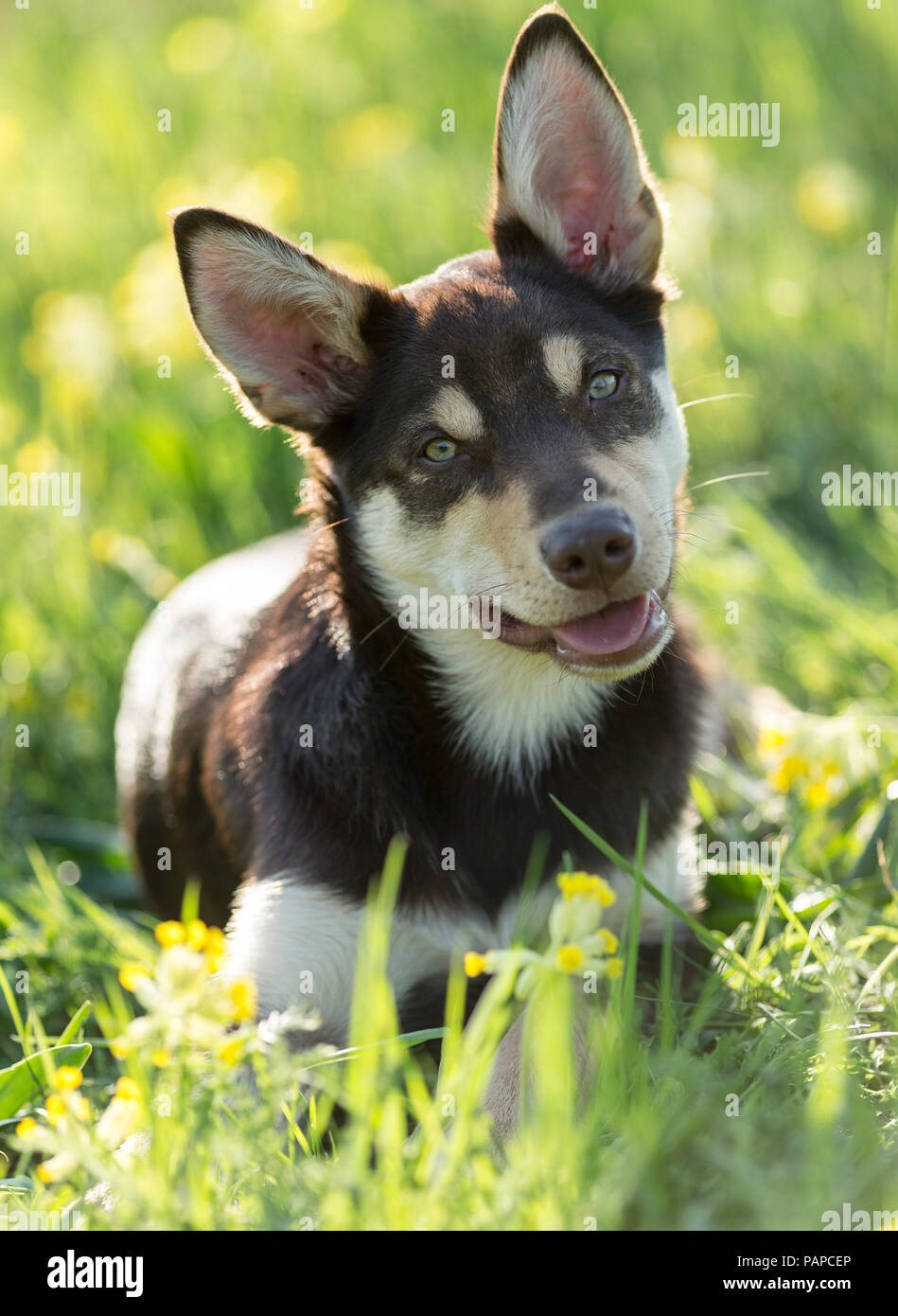 Australian Working Kelpie. Juvenile dog lying in a flowering meadow, with head cocked. Germany. - Stock Image