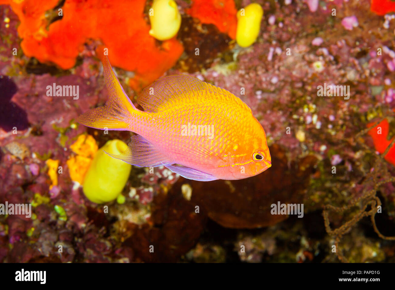 The hawkfish anthias, Serranocirrhitus latus, is a more solitary member of this family and can often be found swimming upside down in caves, Fiji.  Ot - Stock Image