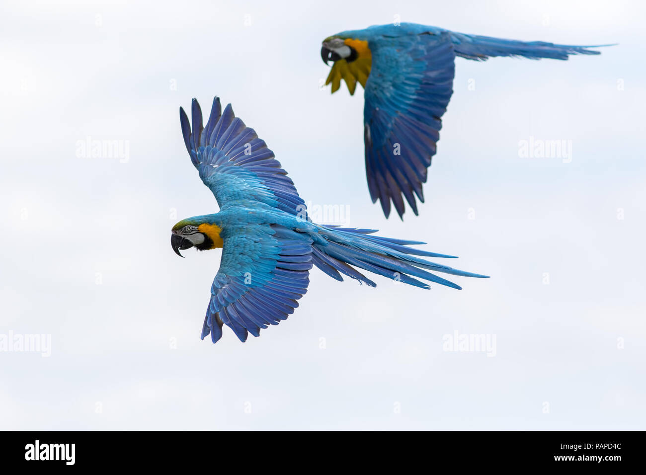 Parrots Flying In The Rainforest - XciteFun.net |Blue Macaw Parrot Flying