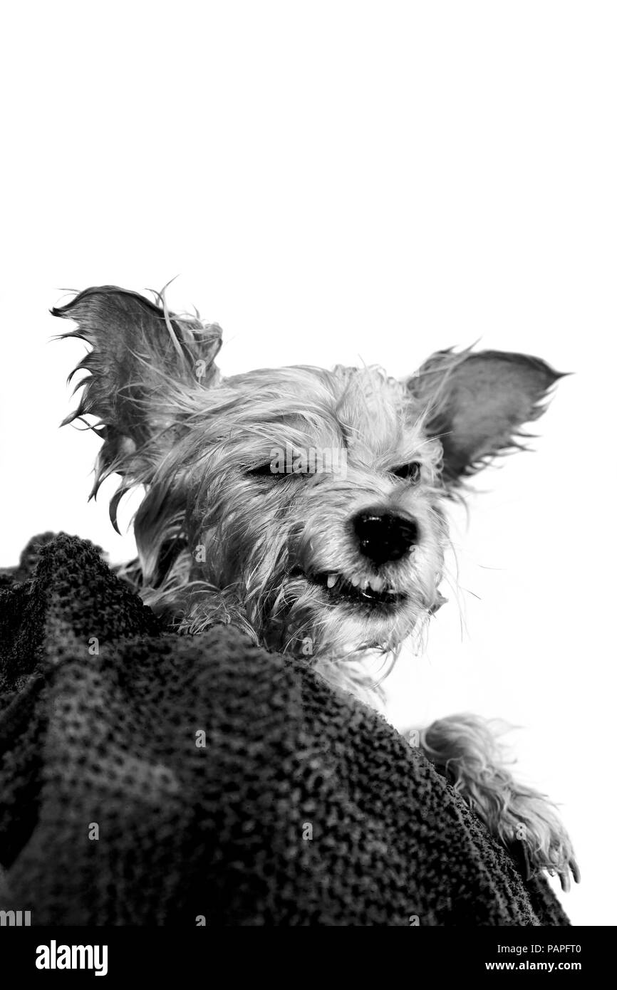 Recently washed Yorkshire terrier making funny face. - Stock Image
