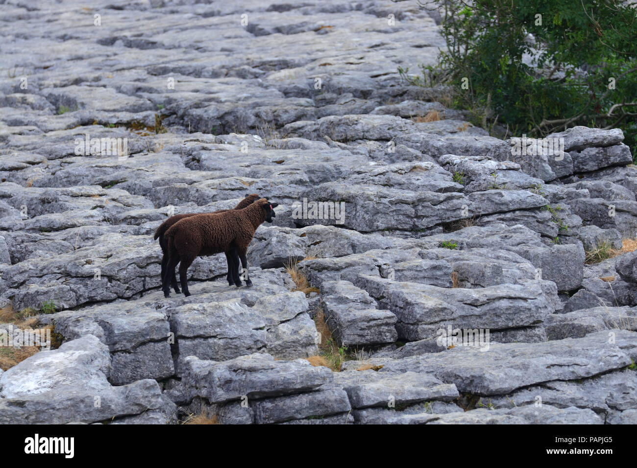 Brown lambs standing on the limestone pavements above Malham Cove in the Yorkshire Dales - Stock Image