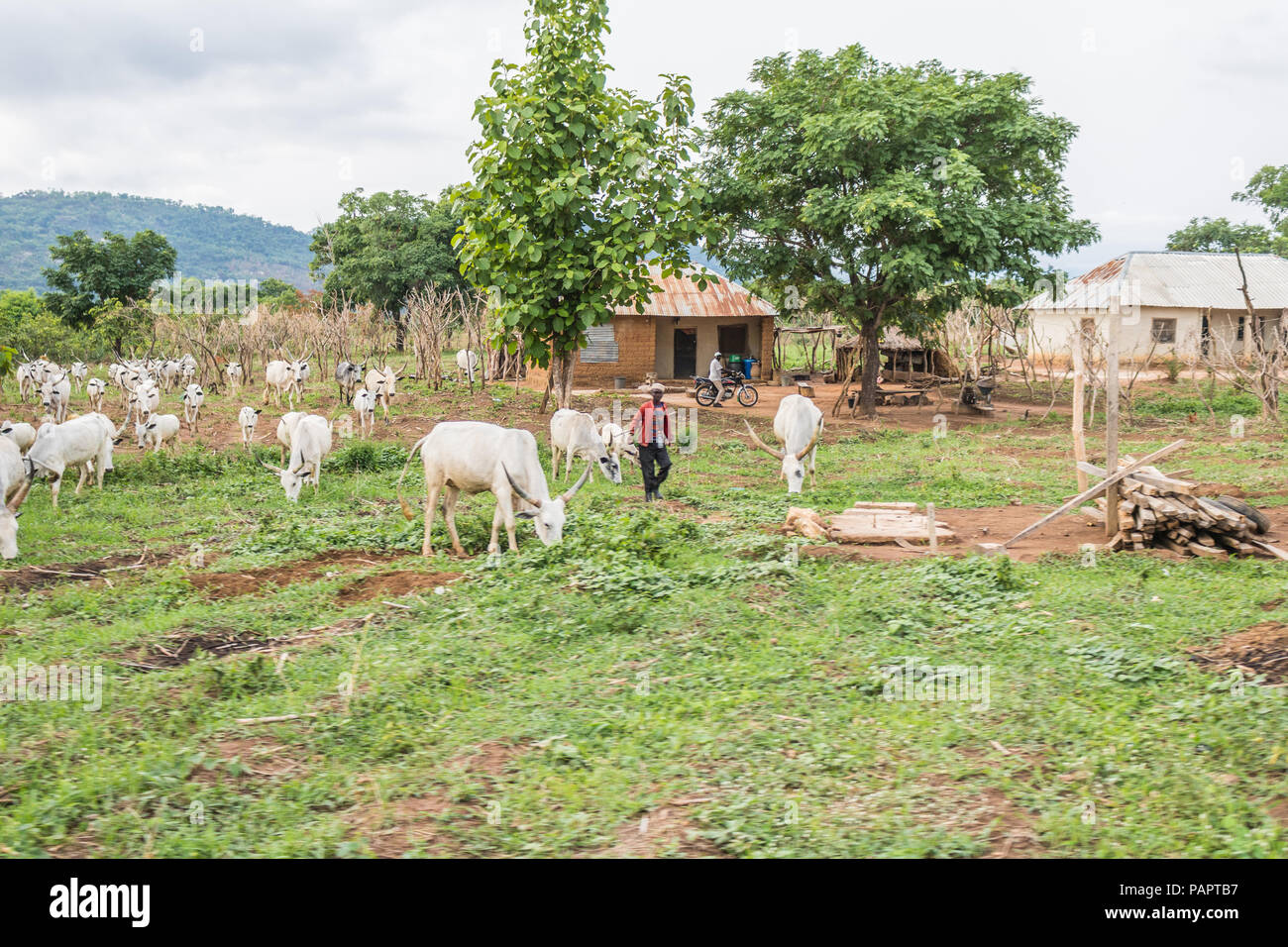 A rural dwelling of villages with herdsmen raising their cattle in the wide. - Stock Image
