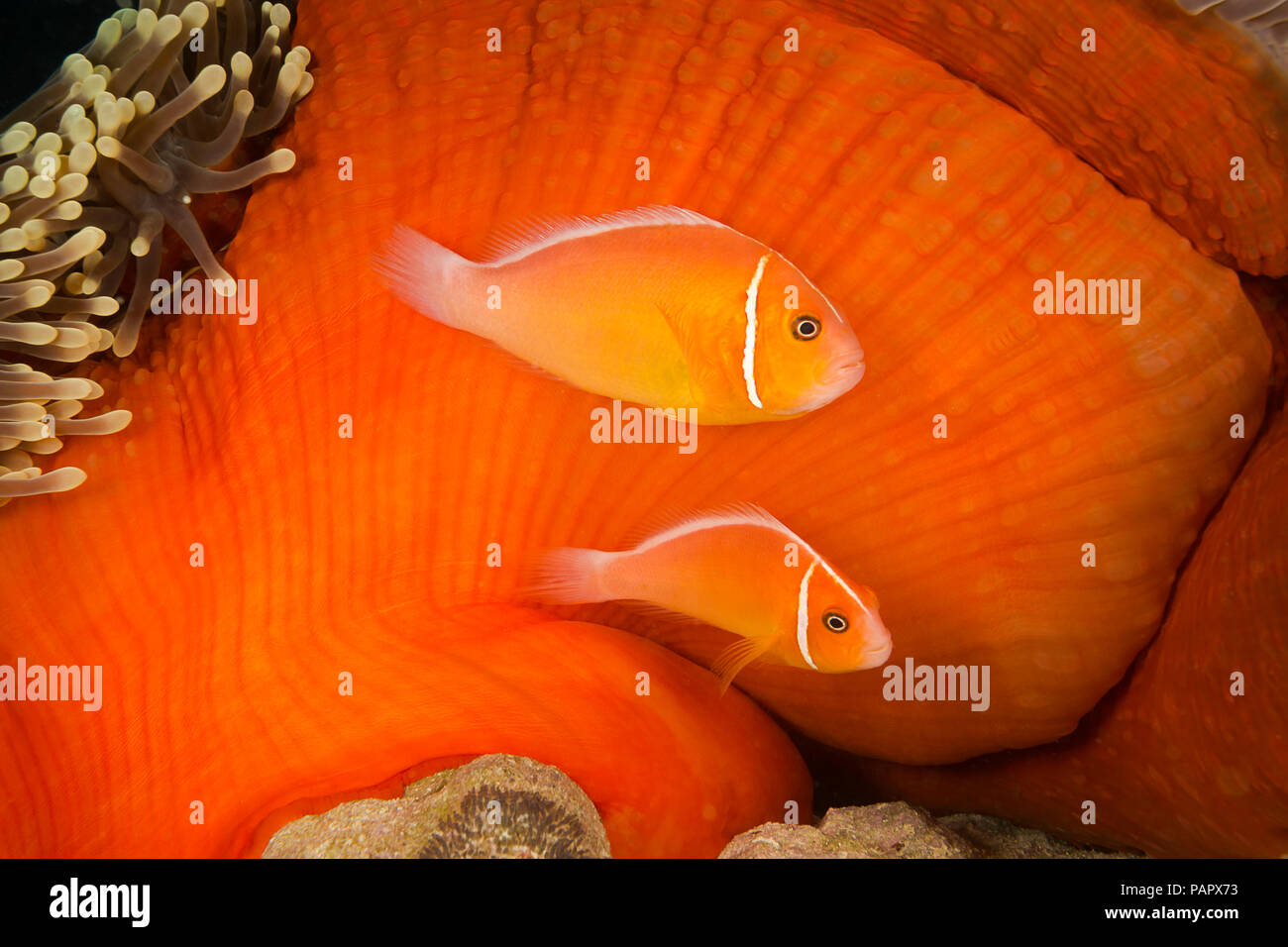 This common anemonefish, Amphiprion perideraion, is most often found associated with the anemone, Heteractis magnifica, as pictured here. The larger o - Stock Image