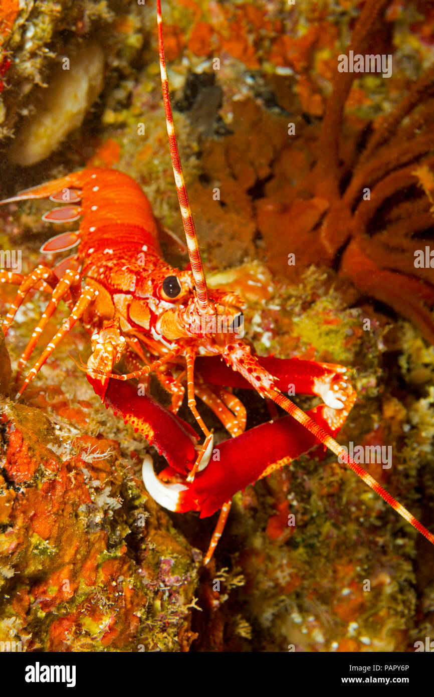 The long-handed spiny lobster, Justitia longimanus, is usually only found on the deeper sections of the reef in Hawaii. - Stock Image