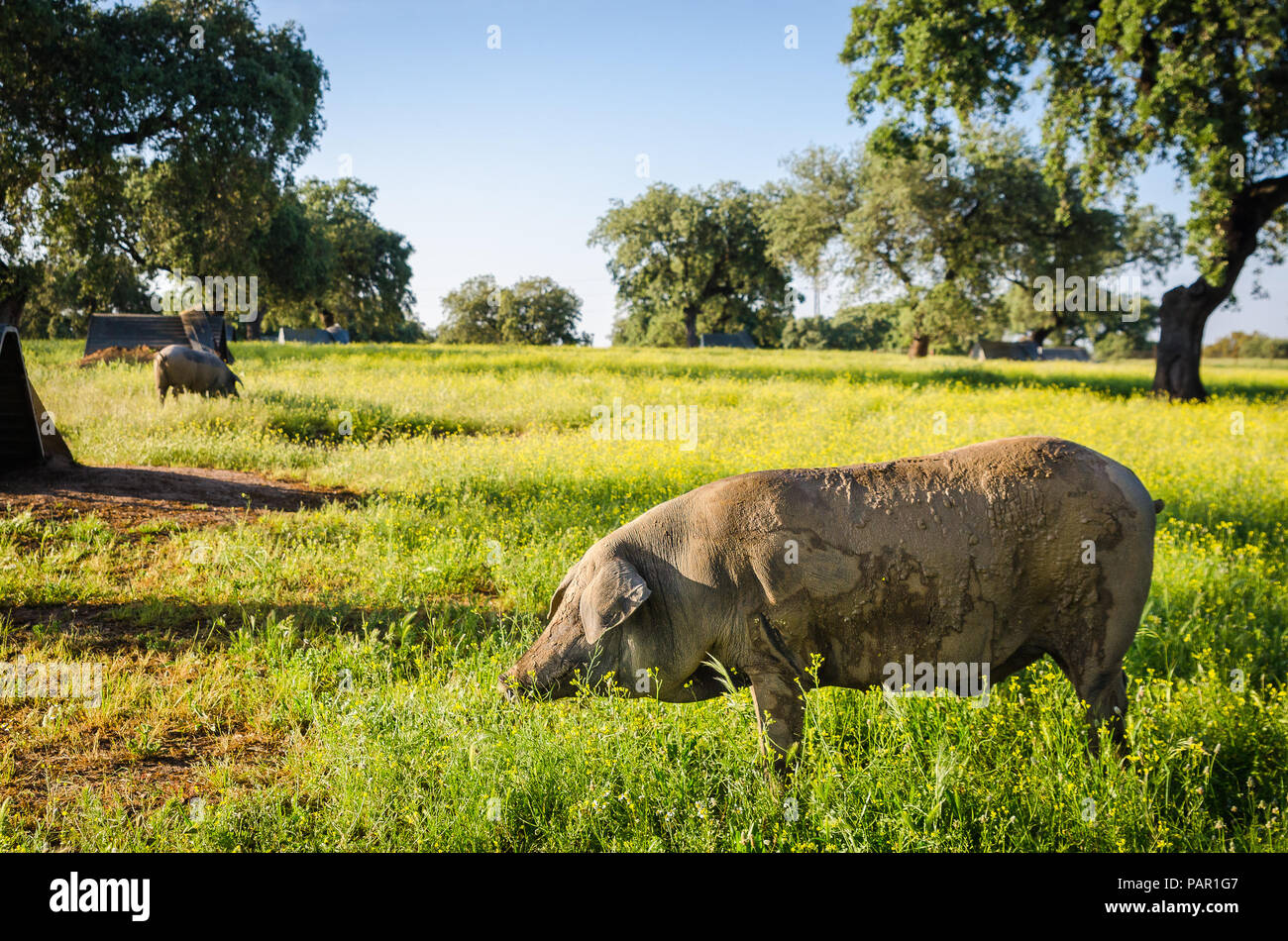 portrait of Iberian pig herd (pata negra) in a flower field Stock Photo