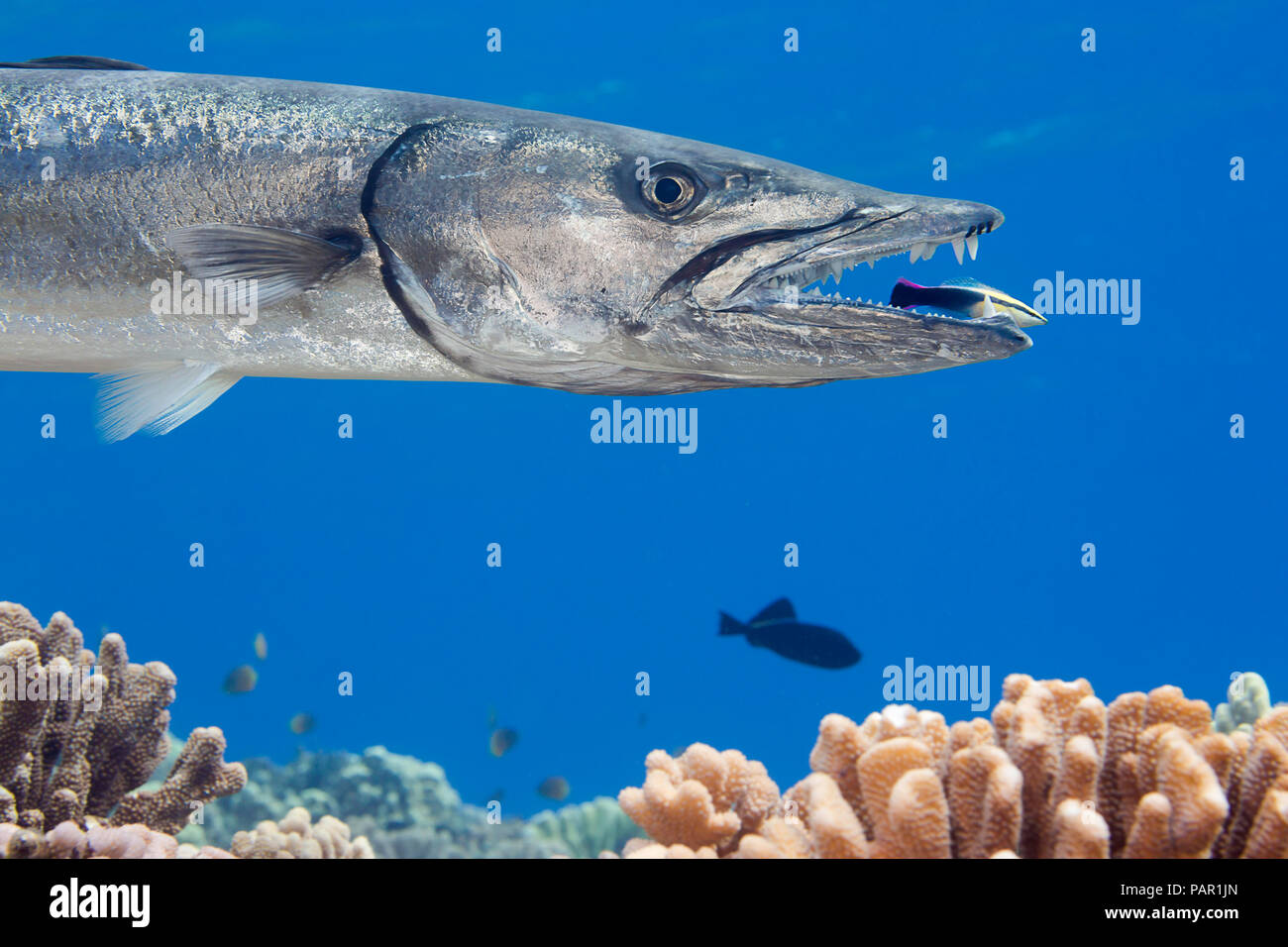 Great barracuda, Sphyraena barracuda, can reach as much as six feet in length. This individual is being cleaned by an endemic Hawaiian cleaner wrasse, Stock Photo