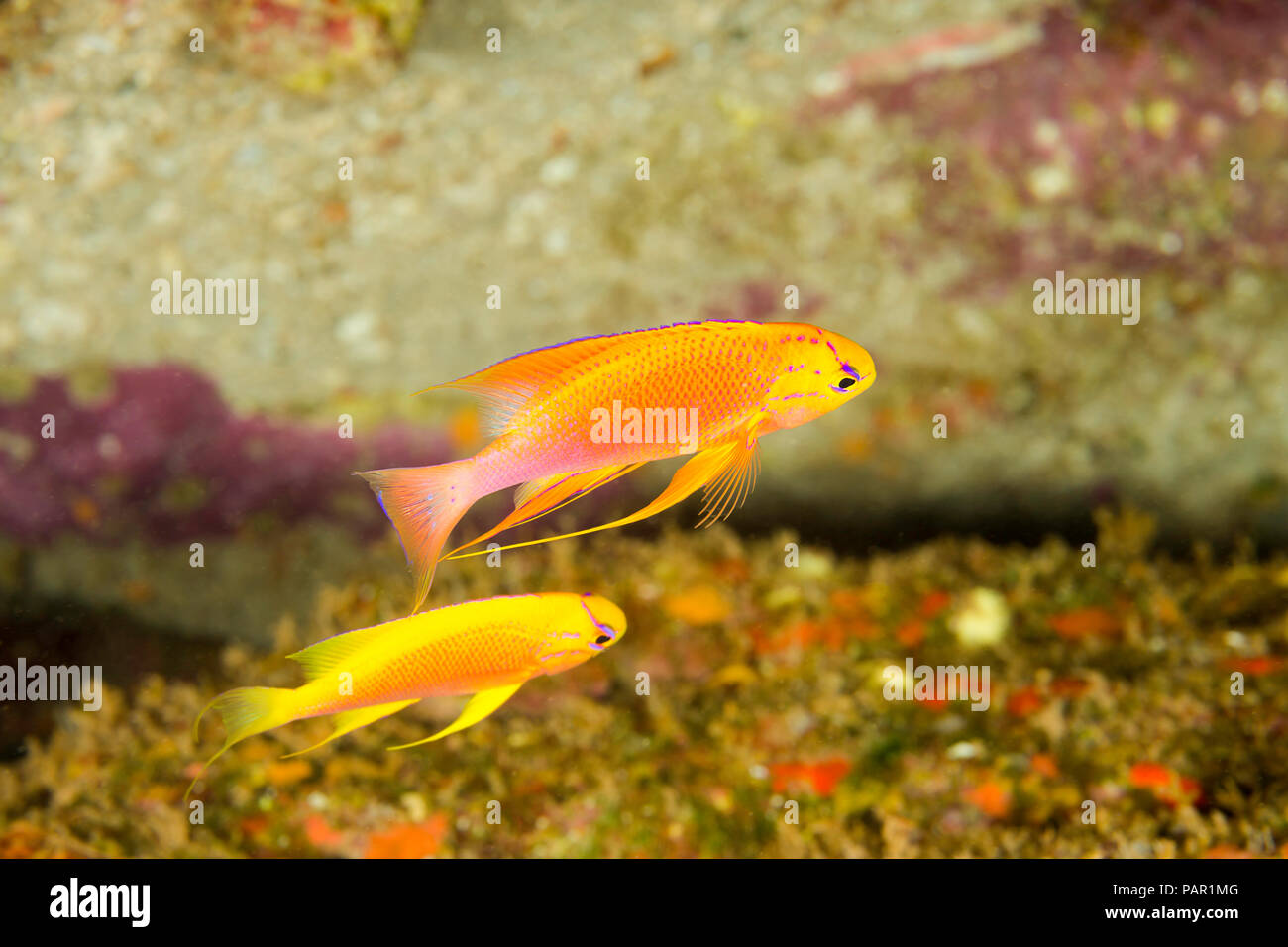 A male and female fairy anthias, Pseudanthias ventralis hawaiiensis, also known as a longfin anthias. This is an endimic species, Hawaii. - Stock Image