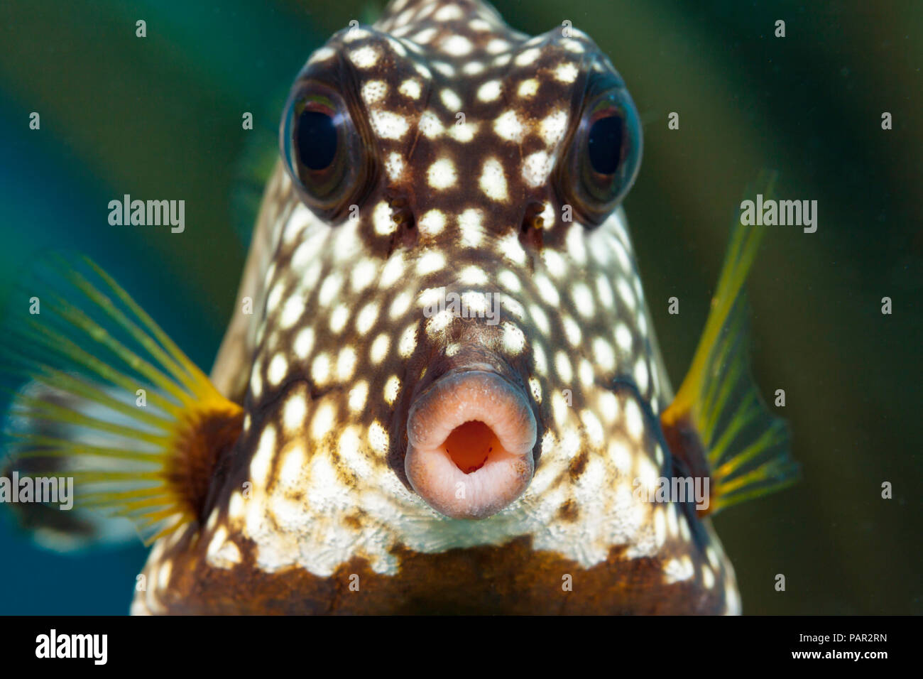 The smooth trunkfish, Lactophrys triqueter, is common on Caribbean reefs, Bonaire. - Stock Image