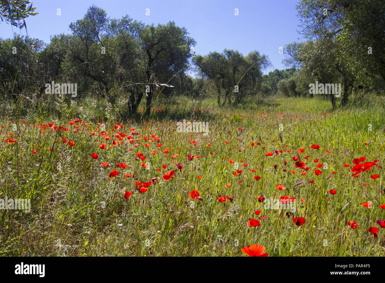 Corn Poppies (Papaver rhoeas) flowering in an olive orchard. Near Mouries, Bouches-du-Rh'ne, France. April. - Stock Image