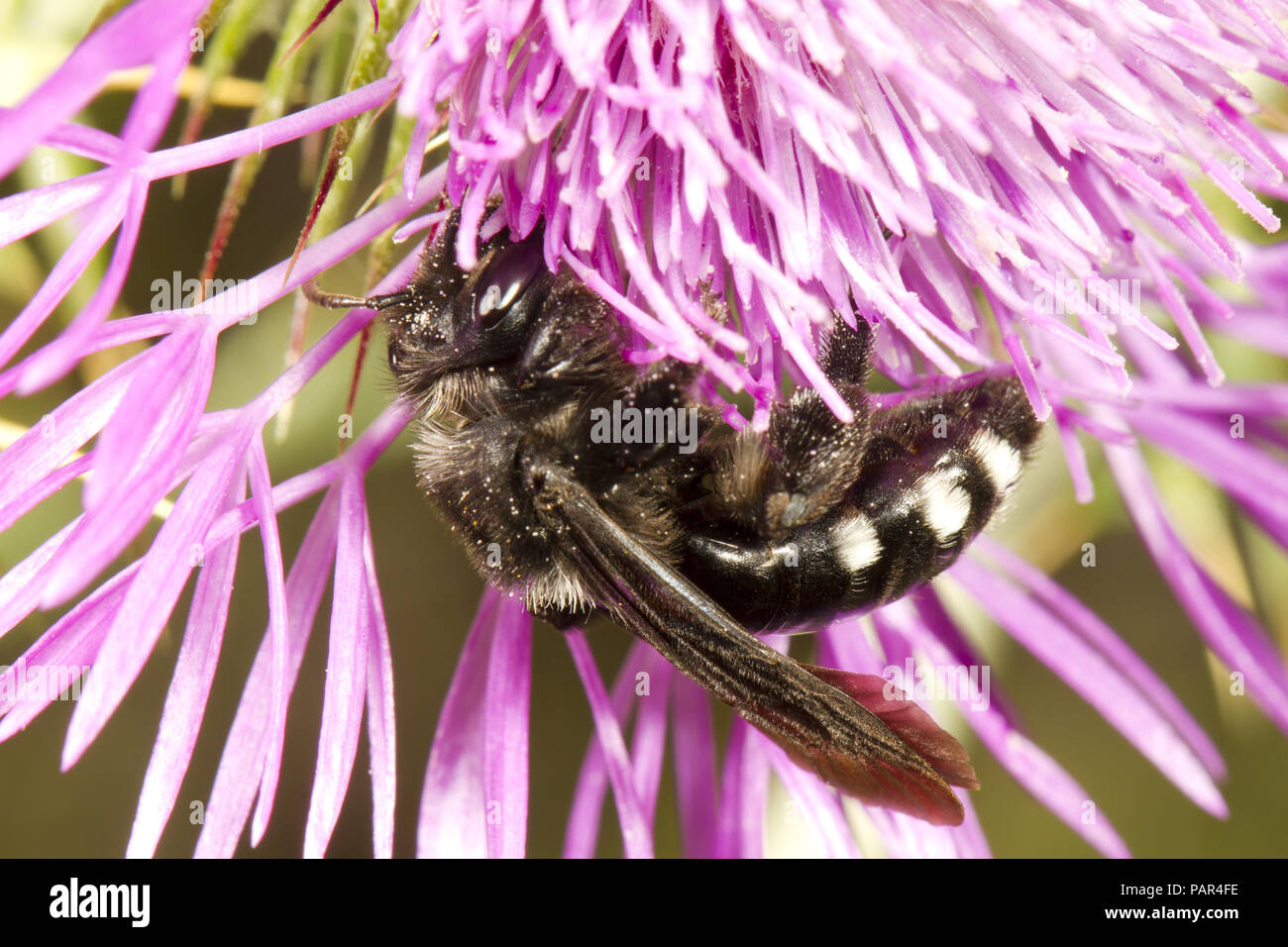 Mourning bee (Melecta sp.) adult female feeding on a thistle flower. Cha'ne des Alpilles, Bouches-du-Rh'ne, France. May. - Stock Image